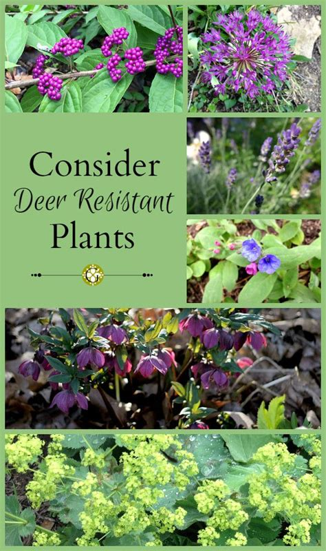 deer resistant flowers bc 17 best images about garden on pinterest gardens raised beds and crop rotation