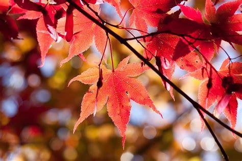 foto gratis acero autunno foglia rosso immagine