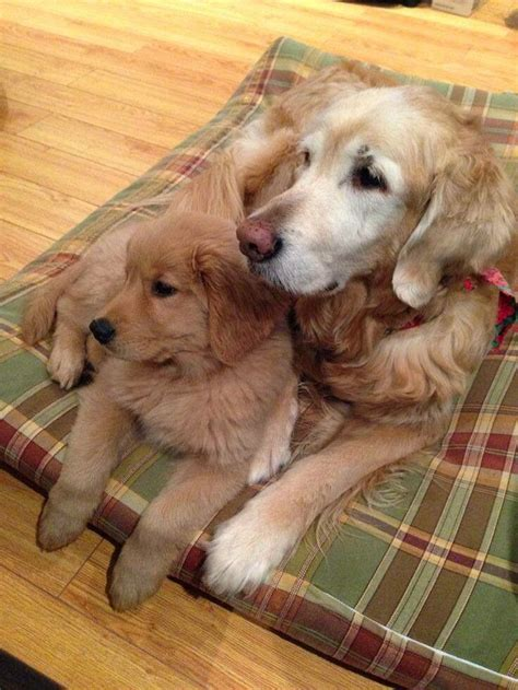 Most Unique Dog Cute Baby And Golden Retrievers Puppies