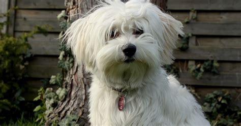 cuba las  razas de perros mas caras  se han