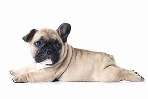 Hundebekleidung Französische Bulldogge : franz sische bulldoggen klein aber oho ~ Frokenaadalensverden.com Haus und Dekorationen