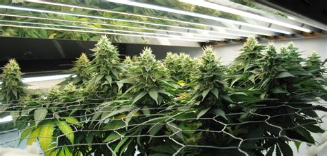 marijuana grow lights autoflower scrog screen of green