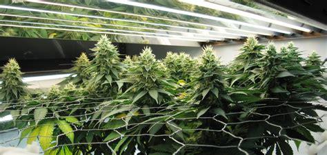 t5 grow lights for indoor plants autoflower scrog screen of green