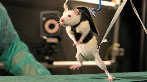 This Adorable Rat On A Treadmill Used To Be Paralyzed