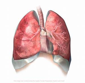 3D Male Respiratory System Model