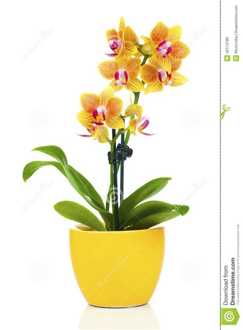 orchid 233 e jaune dans le pot photo stock image 42113780
