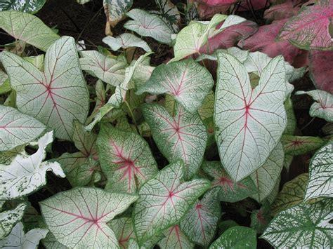 caladiums florida online plant guide caladium bicolor florida moonlight florida moonlight caladium
