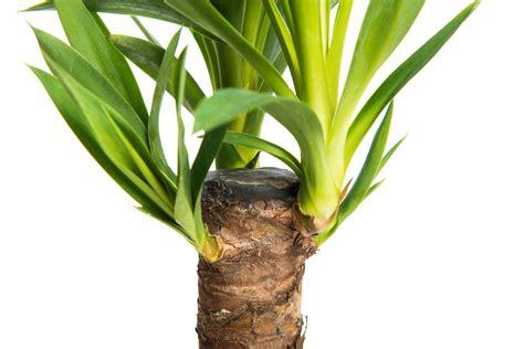 yucca palme ableger yucca palme vermehren tipps vom experten plantura