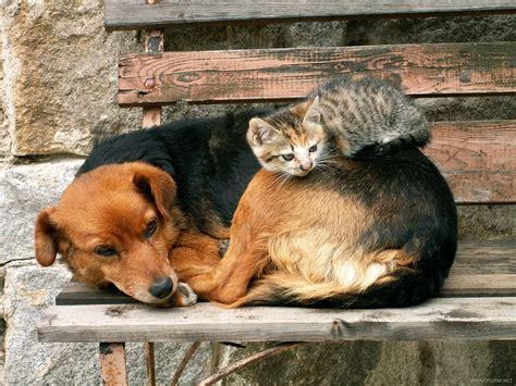 adorables gatos  utilizaron al perro como almohada