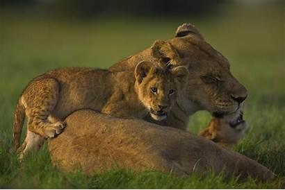 Lions Lion Last Cubs Lioness Cub Cats