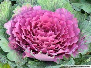 Planter Des Choux Fleurs : chou d 39 ornement brassica oleracea var acephala planter cultiver ~ Melissatoandfro.com Idées de Décoration