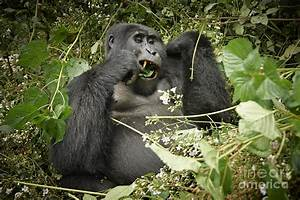 Eating Mountain Gorilla Photograph by Juergen Ritterbach