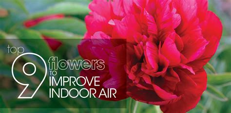 best smelling roses top 9 flowers to improve indoor air aire serv blog