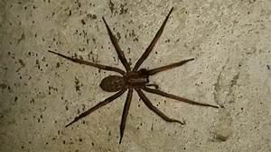 Weiße Spinne Deutschland : diese riesenspinne ist auch in deutschland zu hause ~ Orissabook.com Haus und Dekorationen