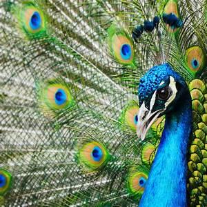 Warum Sind Pflanzen Grün : warum sind in der tierwelt die m nnchen meist bunter als die weibchen simplyscience ~ Markanthonyermac.com Haus und Dekorationen