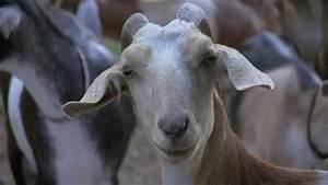 North Carolina Goat Farm - America U0026 39 S Heartland
