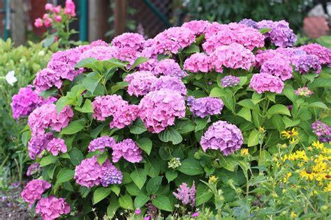 hortensie endless summer schneiden bauernhortensien schneiden schnitt der hortensie endless summer
