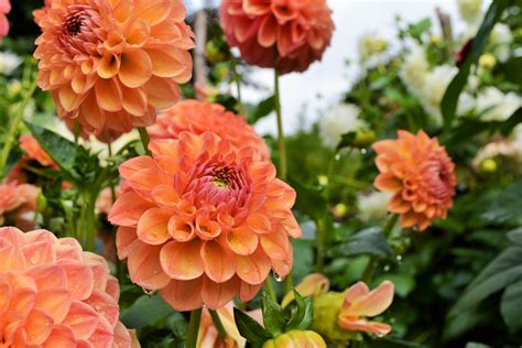 how to take care of dahlias in a pot taking care of the dahlias hever castle