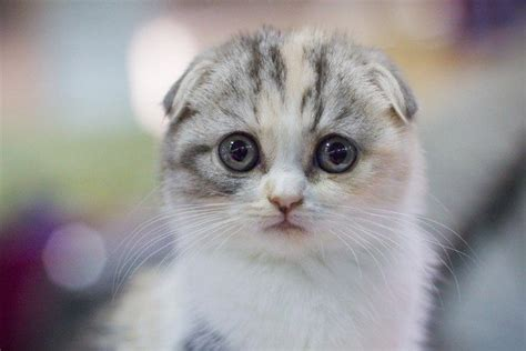 12 Reasons Why You Should Never Own Scottish Folds