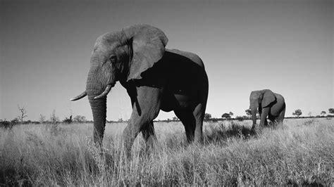 Free Elephant Black And White Wallpaper Desktop Long