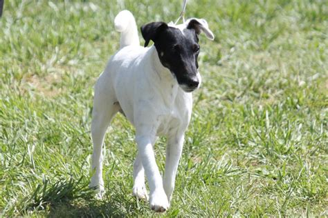 smooth fox terrier breed information smooth fox terrier