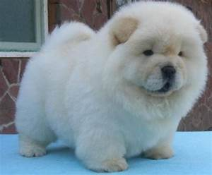 White Cream Chow chow puppies for good homes - Melbourne ...