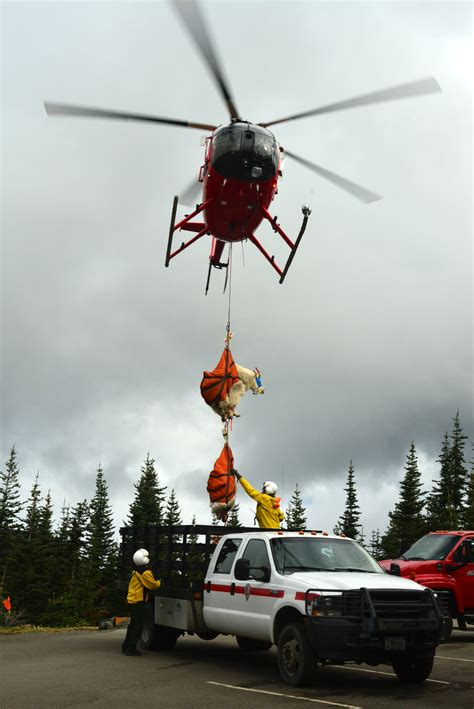mountain goat capture translocation activities complete july