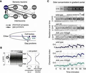 A Circuit For Gradient Climbing In C  Elegans Chemotaxis  Cell Reports