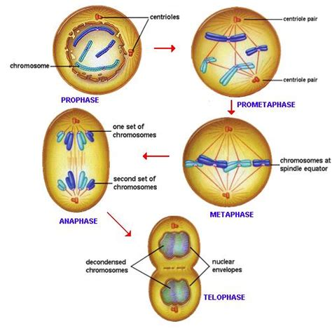 Madical Information Types Of Cell Division And Different