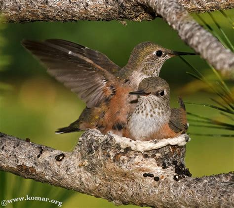 do hummingbirds nest in winter image search results
