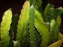 6 Mudas De Pitaya Polpa Vermelha Com 40cm Ou Mais ...