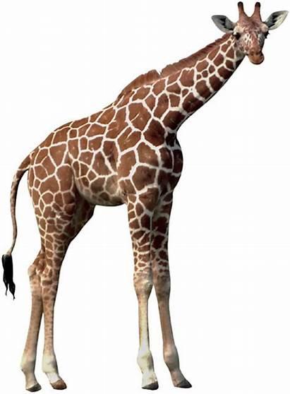 Giraffe Adopt Animal Animals Giraffes Wild Worldanimalfoundation