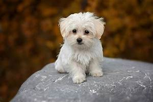 dog-white-maltese-puppy-small dog breeds pb - Pet Symptoms