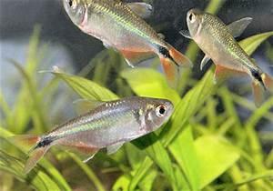 Buenos Aires Tetra Hyphessobrycon anisitsi Characin Fish
