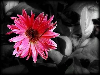 Splash Wallpapers Flower Flowers Colour Single Pink