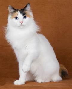 Life expectancy of Japanese Bobtail Cat - Annie Many