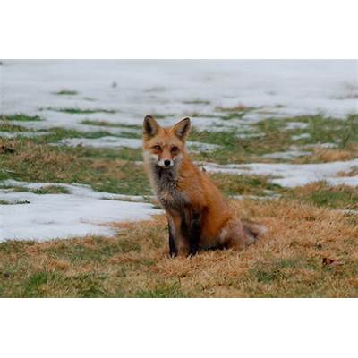 Red Fox (Vulpes vulpes)Henry Hartley