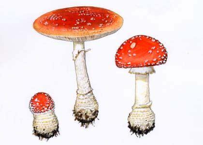 sarkanā mušmire - Amanita muscaria (L.: Fr.) Hook. - Sēnes - Latvijas daba