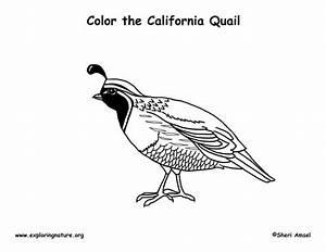 Quail  California  Coloring Page