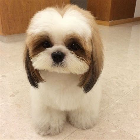 Shih Tzu cutie   Shih Tzu Names For Boys And Girls