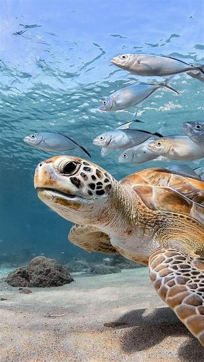 Turtle Iphone Wallpapers Wallpaperboat