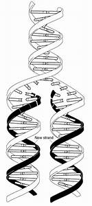 Model Dna Replication Diagram