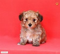 Morkie Puppy for Sale in Pennsylvania | Morkie | Pinterest ...