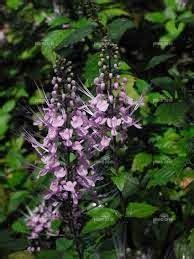 koleksi tanaman hias bunga kumis kucing orthosiphon