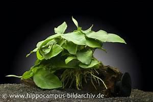 Pflanzen Auf Stein : anubias nana auf wurzel mit sauger aquariumpflanzen pflanzen auf holz stein ~ Frokenaadalensverden.com Haus und Dekorationen