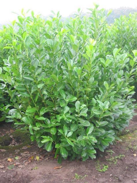kirschlorbeer hecke pflanzen hecke 187 kirschlorbeer 171 3 pflanzen kaufen otto