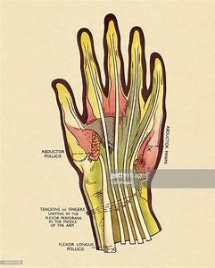 Diagram Of Tendons In Hand High-res Vector Graphic