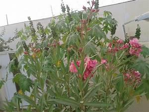 Oleander Zurückschneiden Video : oleander zur ckschneiden oleander schneiden fr hjahr oder ~ Lizthompson.info Haus und Dekorationen