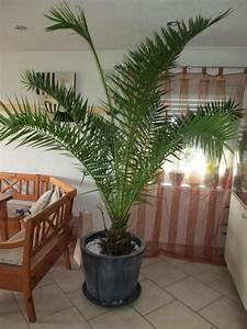 Phonix palme balkon in gernsheim pflanzen kaufen und for Französischer balkon mit garten palme winterfest