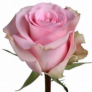 Light Pink roses, wholesale roses, Jessica Rose ...